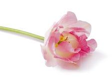 Покрашенный пинком цветок тюльпана Стоковое Изображение RF