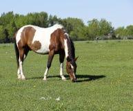 Покрашенный пони Стоковая Фотография