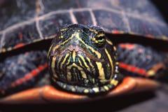 Покрашенный портрет Иллинойс черепахи Стоковое Изображение