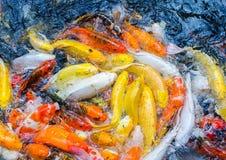 Покрашенный пруд в парке, причудливое sur взгляд сверху рыб гречихи рыб гречихи Стоковое Фото