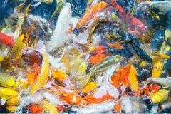 Покрашенный пруд в парке, причудливое sur взгляд сверху рыб гречихи рыб гречихи Стоковое Изображение