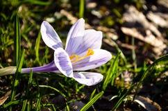Покрашенный пурпуром цветок крокуса Стоковое Фото