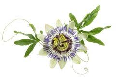 Покрашенный синью цветок страсти изолированный на белизне Стоковые Изображения RF