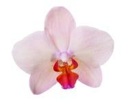 Покрашенный сливк одиночный цветок орхидеи Стоковое Изображение