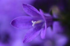Покрашенный фиолетом колокольчик колокольчика стоковое изображение