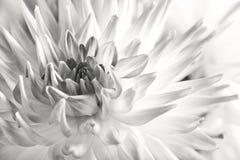 покрашенный цветок георгина пастельный Стоковое Изображение