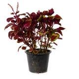Покрашенный цветок крапивы, заводы Coleus на белой предпосылке Стоковое фото RF