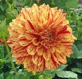 Покрашенный цветок Мадам Георгина Стоковые Изображения RF