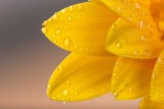 Покрашенный цветок gerber Стоковые Изображения