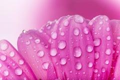 Покрашенный цветок gerber Стоковые Фото