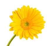 Покрашенный цветок gerber Стоковая Фотография RF