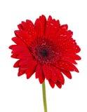 Покрашенный цветок gerber Стоковые Изображения RF