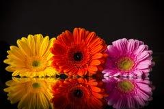 Покрашенный цветок gerber Стоковое Фото