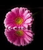 Покрашенный цветок gerber Стоковые Фотографии RF