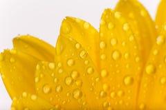 Покрашенный цветок gerber Стоковое Изображение RF