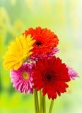 Покрашенный цветок gerber Стоковая Фотография
