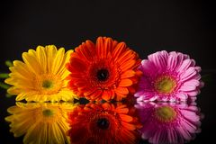 Покрашенный цветок gerber Стоковое Изображение