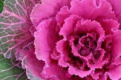 покрашенный kale Стоковая Фотография