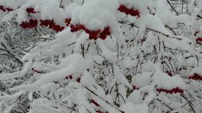 Покрывают ягоды калины с снегом видеоматериал