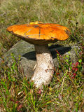покрынное черенок scaber травы красное Стоковое Изображение RF