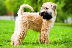 покрынный ирландский мягкий terrier wheaten Стоковое Изображение
