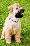 покрынный ирландский мягкий terrier wheaten Стоковые Изображения RF
