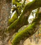 покрытая белизна дуба мха стоковая фотография