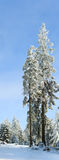 покрытая зима вала снежка ели благородная Стоковое Изображение