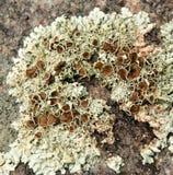 Покрытая коркой текстура водорослей лишайника Стоковые Изображения