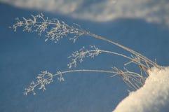 покрытая мята листьев hoar травы заморозка Стоковые Изображения