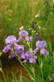 покрытая роса irises пурпур Стоковые Изображения