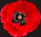 Покрытая росой изолированная голова мака Стоковое Фото