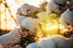 покрытая Снег ель в лесе зимы на заходе солнца Стоковое Изображение RF