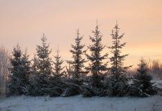 покрытая Снег ель в зиме Стоковое Изображение