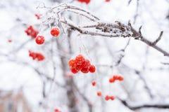 покрытая Снег чуть-чуть ветвь рябины с зрелыми красными ягодами стоковые фото
