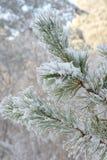 Покрытая хворостина изморози сосны Стоковые Изображения
