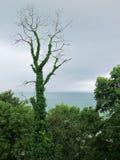 Покрытое плющ мертвое дерево стоковая фотография rf