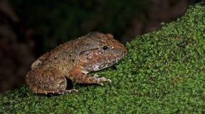 Покрытое gyldenstolpel Limnonectes лягушки, красивая лягушка, лягушка на мхе Стоковое Изображение RF