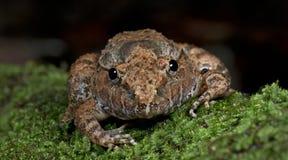 Покрытое gyldenstolpel Limnonectes лягушки, красивая лягушка, лягушка на мхе Стоковое Фото