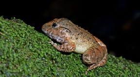 Покрытое gyldenstolpel Limnonectes лягушки, красивая лягушка, лягушка на утесах Стоковая Фотография RF