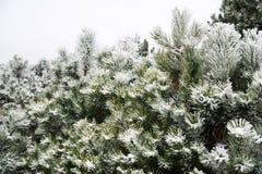 покрытые валы снежка сосенки Стоковая Фотография