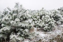 покрытые валы снежка сосенки Стоковая Фотография RF