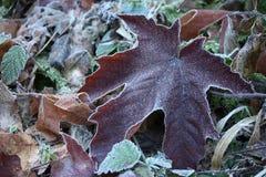 покрытые листья заморозка Стоковые Изображения