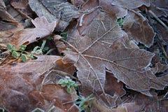 покрытые листья заморозка Стоковая Фотография