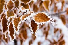 покрытые листья hoarfrost Стоковое Изображение RF