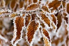 покрытые листья hoarfrost Стоковые Изображения RF