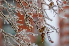 покрытые Лед ветви дерева Стоковая Фотография