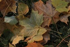 покрытые листья hoarfrost стоковая фотография