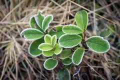покрытые листья hoarfrost стоковая фотография rf