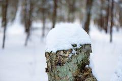 Покрытые снегом деревья пня в лесе зимы Стоковые Изображения